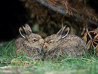 Two young hares sitting by bush