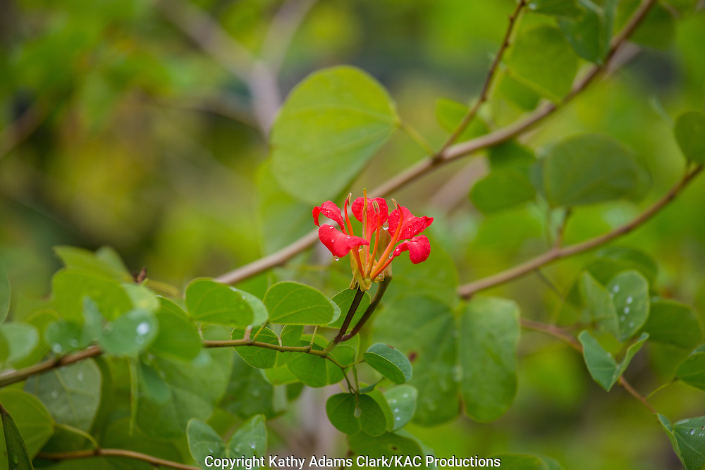 Mexican Bauhinia, Bauhinia mexicana, tropical garden plant, Garden, Houston, late summer, Texas.