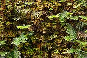 Moss in Mesilau Nature Resort, Kinabalu National Park, Sabah