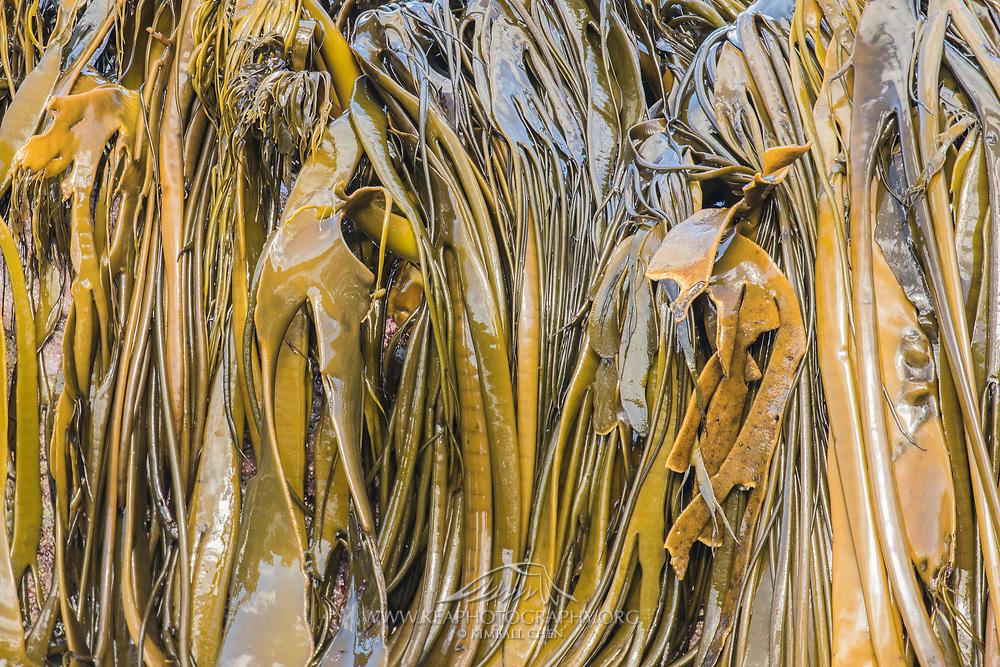 Bull Kelp, Catlins, New Zealand