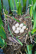 Moorhen's nest, with seven eggs laid, made with twigs among iris plants in a pond in Swinbrook, the Cotswolds, Oxfordshire, UK