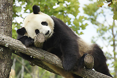 France: Giant panda Huan Huan expecting twins at Beauval zoo - 5 Aug 2017