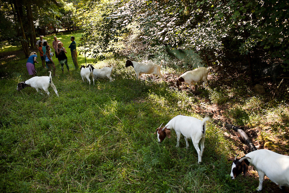A herd of Boer goats hired through Rent-A-Goat begin to graze around a lot-side easement in Chapel Hill, N.C., Thurs., July 22, 2010, as neighbors gather to watch...D.L. Anderson for The Wall Street Journal..GOATS