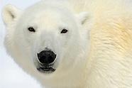 Polar bears and Arctic wildlife