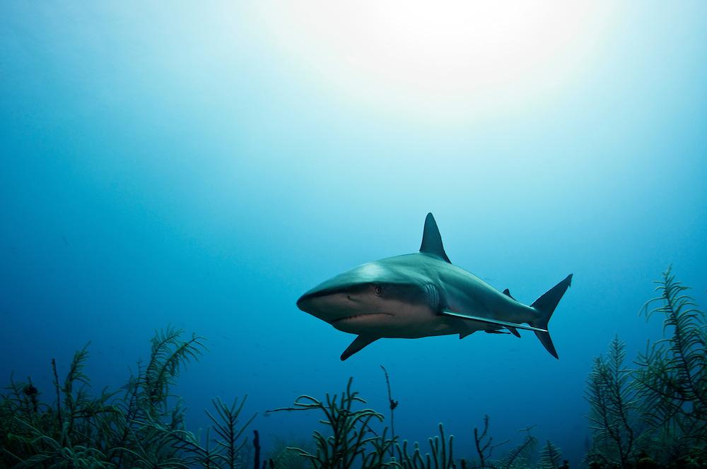 A Caribbean reef shark, Carcharhinus perezii, off Freeport Grand Bahama