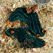Nembrotha kubaryana mating.nudibranchs in Lembeh Straits, Indonesia.