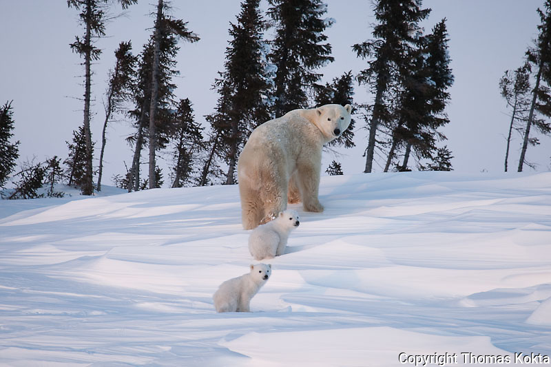 Mother polar bear and her cubs, Churchill, Manitoba, Canada.