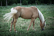 A palomino horse grazes at the Island Ranch in Ames, Oklahoma.