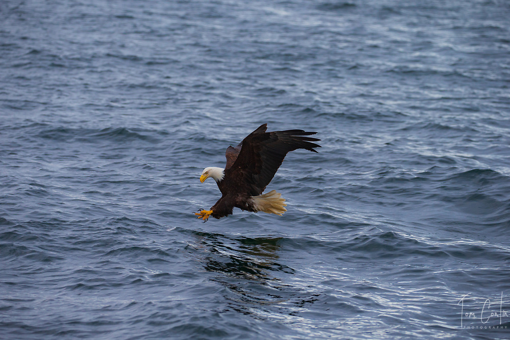 Bald Eagle ~ Haliaeetus leucocephalus ~ Inside Passage, Alaska ~ www.adventurequestX.com