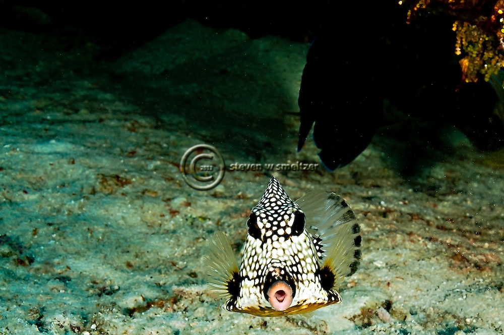 Smooth Trunkfish, Lactophrys triqueter<br />