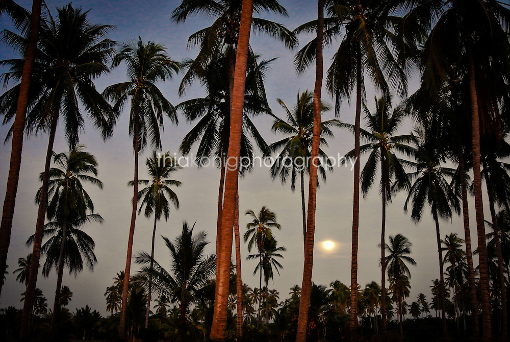 Full moon through a forest of palm trees, San Blass, Mexico.