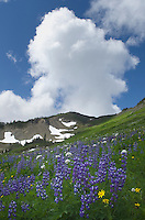 Wildflowers meadows on Skyline Divide, Mount Baker Wilderness North Cascades Washington