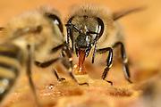 Honey bee (Apis mellifera), Kiel, Germany | Die Honigbiene (Apis mellifera) nimmt einen Honigtropfen auf. Kiel, Deutschland
