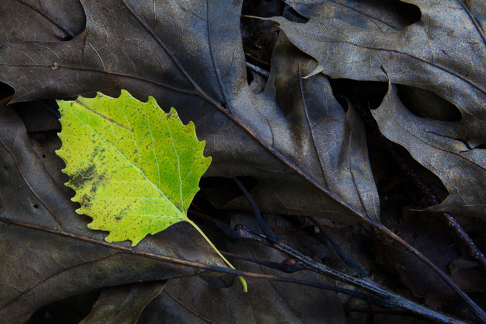 a colorful big tooth aspen leaf contrasts agains the brown, dead oak leaves in the this forest floor close up, Acadia National Park, Maine