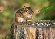 A Very Cute Eastern Chipmunk Dining On Bird Seed, Tamias striatus