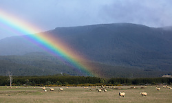A rainbow behind sheep grazing near Blackwood Creek at the base of the Great Western Tiers in northern Tasmania.