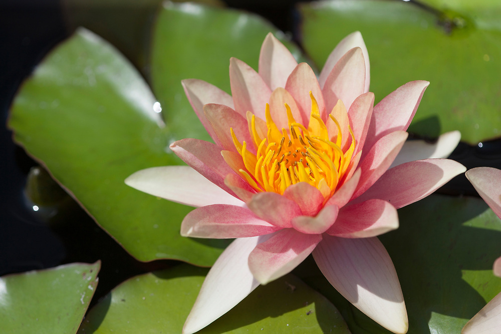 Beautifully delicate water lily in full bloom.