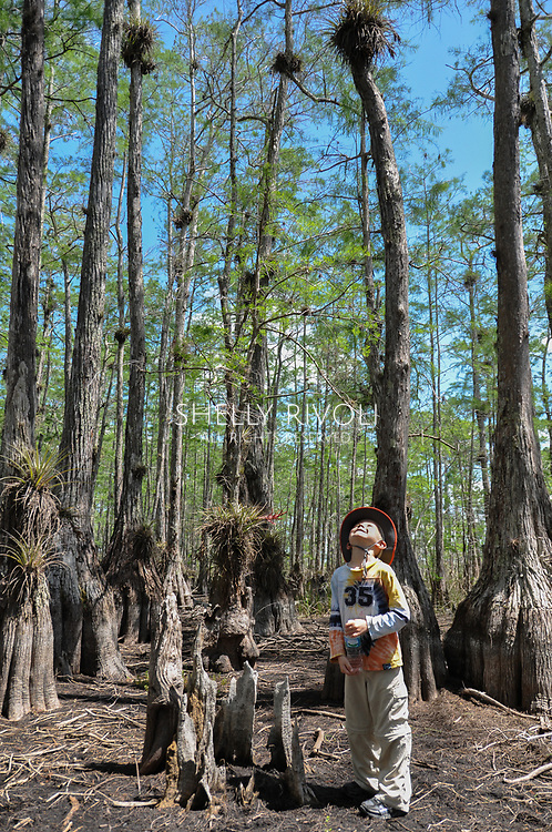A boy stands between several pond cypress looking up at the many epiphytes or bromeliads clinging to the slim tree trunks. Model released.
