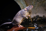 A brown rat (Rattus norvegicus) near a city sewer outlet. Portland, Oregon. These rats are not native, but are european in origin and have followed human settlements around the world. Captive illustration.