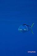 dorado, mahi-mahi, mahimahi, mahi mahi, or dolphin fish, Coryphaena hippurus, juvenile schoolie offshore, South Kona, Hawaii Island ( the Big Island ), U.S.A. ( Central Pacific Ocean )