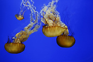 The Atlantic sea nettle, or East Coast sea nettle, is a widely distributed species of jellyfish that inhabits tropical and subtropical parts of the Atlantic, Indian and Pacific Oceans.