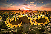 A field of sunflowers at sunset