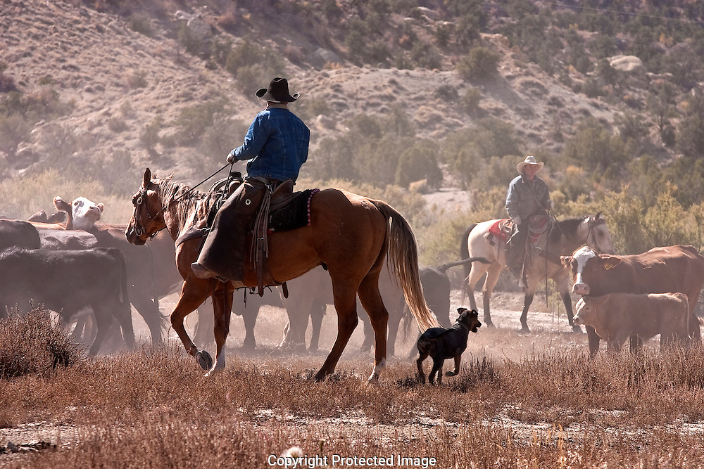 Cowboys, on horseback, moving cattle to new range, near Tropic, Utah