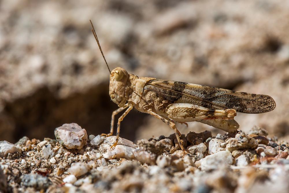 Trimerotropis pallidipennis (Pallidwinged Grasshopper) adult at Bob's Gap, Los Angeles Co, CA, USA, on 19-Aug-17
