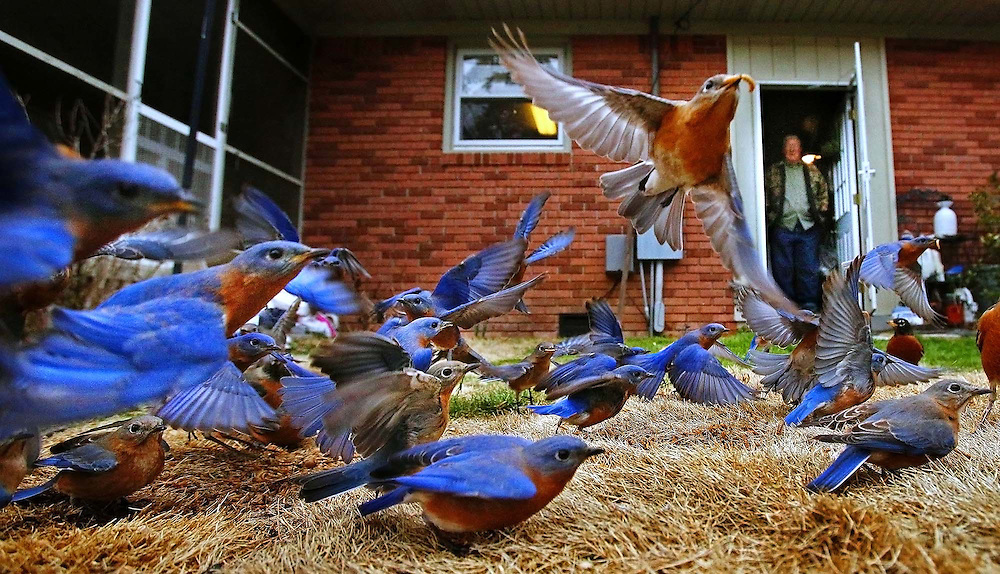 "Andy Uswa gazes at a group of bluebirds as they feed in his backyard, Monday, February 16, 2015. ""The story with the bluebirds began in the fall of 2013,"" he said. ""I looked out the kitchen window and I saw a couple of bluebirds."" Uswa went to Wild Birds Unlimited and bought a bag of live mealworms along with dried worms. As he fed them, the numbers started to increase. ""The latest count in January was more than 80,"" he said. ""I don't know how many will stick around and lay their eggs. If they do I'll just have to buy more worms."""