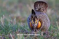 00842-04016 Greater Prairie-Chicken (Tympanuchus cupido)  male booming/displaying on lek Prairie Ridge State Natural Area Jasper Co, IL