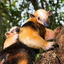 Tamanduás e preguiças - Pilosa / Anteaters and sloths