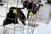 ELDORADO, WI – FEBRUARY 2: A young calf looks on at Vision Aire Farms on February 2, 2017.