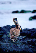 Brown Pelican on Santa Cruz,  Galapagos Islands, Ecuador