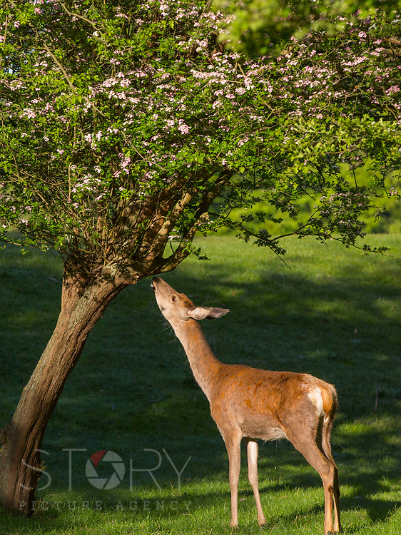UNITED KINGDOM, Richmond Park: 14 May 2019 <br /> A red deer nibbles from a blossom tree in Richmond Park this morning as the sun rises on another fine day of weather across The UK. Temperatures are set to reach 19C in the capital and potentially higher in the Midlands.