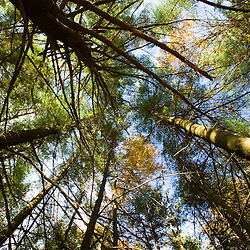 Looking up in a pine forest at the Surrenden Farm in Groton, MA.