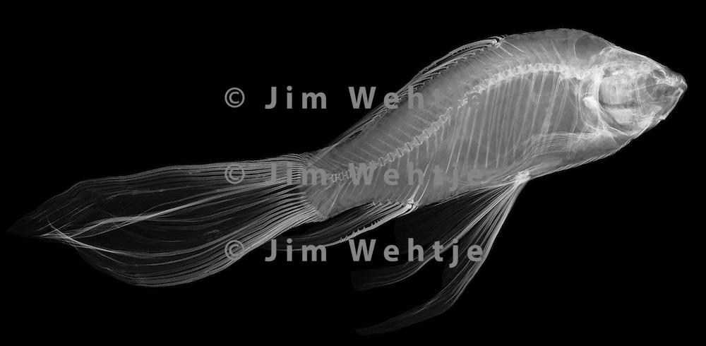 X-ray image of a koi fish (white on black) by Jim Wehtje, specialist in x-ray art and design images.