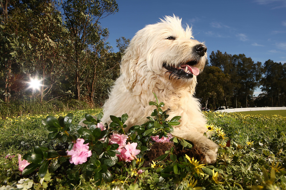 Sophie the Groodle found an Azalea plant which can be dangerous for dogs. Sunny spring days see flowers in full bloom and Sydneysiders gardening and cleaning up<br />