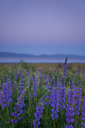 """Lupine Sunset 6"" -This purple sunset and lupine flowers were photographed at Lake Forest Beach Park at Lake Tahoe, just outside of Tahoe City, CA."
