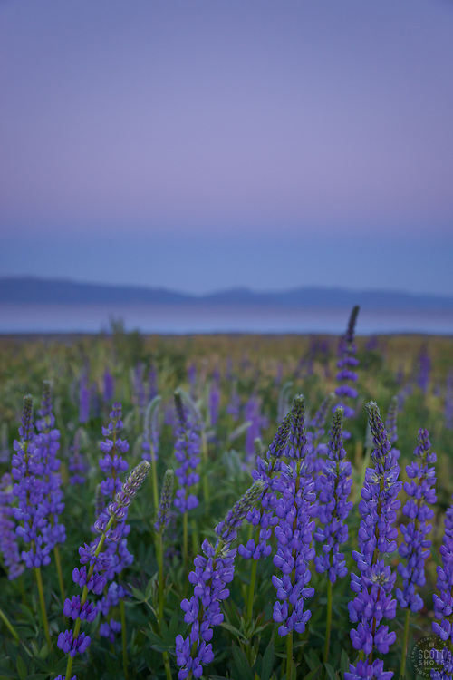 """""""Lupine Sunset 6"""" -This purple sunset and lupine flowers were photographed at Lake Forest Beach Park at Lake Tahoe, just outside of Tahoe City, CA."""