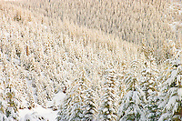 a Silver Fir and Noble Fir forest covered in snow is lit by warm morning light along the Mount Tahoma Trails near Mount Rainier in the Cascade Mountain Range of Washington state.