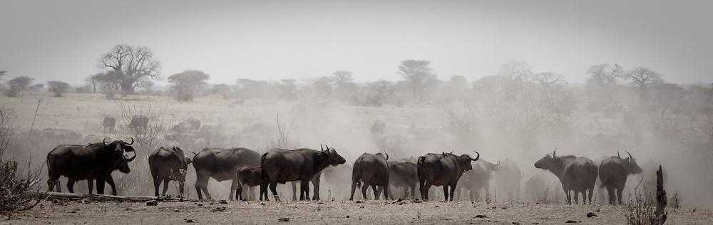 Buffalo, Ruaha National Park, Tanzania