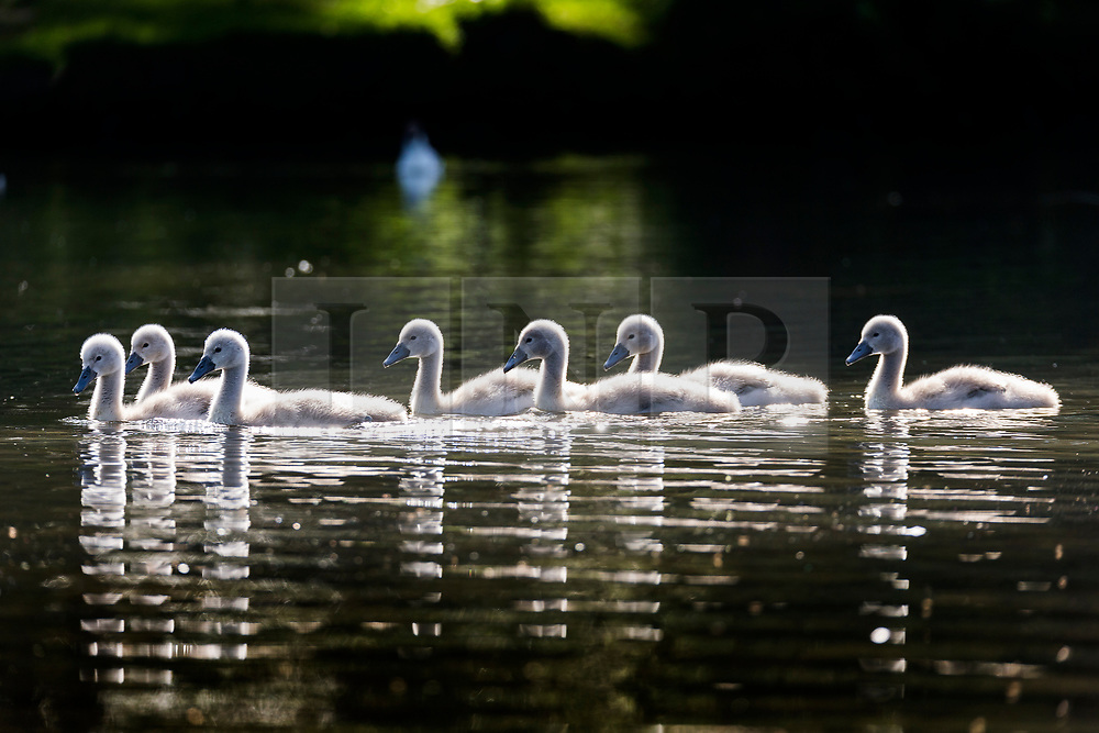 © Licensed to London News Pictures. 13/06/2018. Leeds UK. Seven Cygnets swim across the lake at Golden Acre park in the sunshine this morning in Leeds. Photo credit: Andrew McCaren/LNP