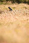 Little Bustard (Tetrax tetrax) male vocalising at lek. Lleida province. Catalonia. Spain.