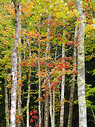 Leaves of various tree species change color from green to yellows and reds in late September amid a pattern of tree trunks, in Porcupine Mountains Wilderness State Park, Michigan, USA. The park was established in 1945 to protect the last large stand of uncut hardwood-hemlock forest remaining in the Midwest.