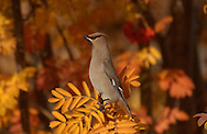 Photo Randy Vanderveen.Grande Prairie, Alberta.A cedar waxwing perches among the colourful fall foilage of a mountain ash.