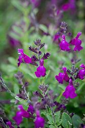 Salvia greggii Mirage Deep Purple
