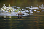Beaver, Castor canadensis; carrying willow for winter food storage, pond, taiga, autumn, Denali National Park, Alaska, ©Craig Brandt, all rights reserved; brandt@mtaonline.net