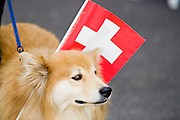 01 AUGUST 2007 -- INTERLAKEN, BERN, SWITZERLAND: A dog carries a Swiss flag during Swiss National Day celebrations in Interlaken, in the canton of Bern, Switzerland. Swiss National Day is the Swiss national holiday and celebrates the founding of the Swiss confederation 716 years ago, in 1291. There are parades, fireworks shows and bonfires throughout the country.  Photo by Jack Kurtz