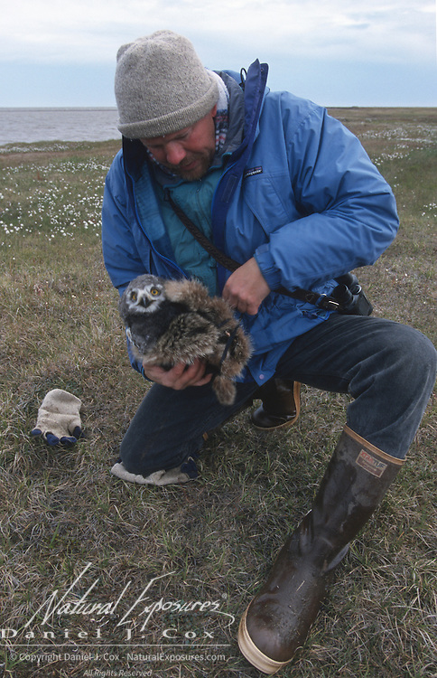 Denver Holt keeping a Snowy Owl (Bubo scandiacus) chick warm prior to its release. Barrow, Alaska