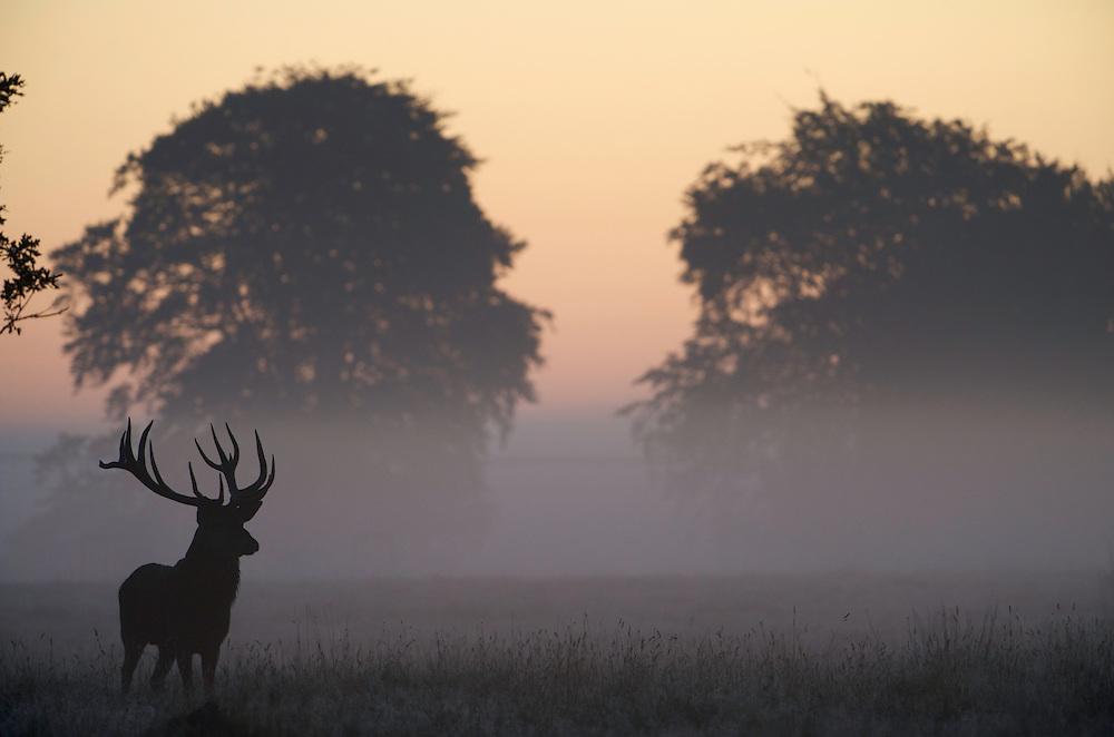 Red Deer (Cervus elaphus) stag silhouetted in morning mist, Klampenborg Dyrehavn, Denmark (c) Fenced reserve enclosure.